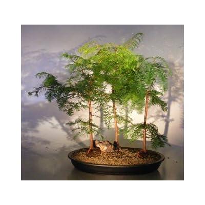 Bonsai Boy's Redwood Bonsai Tree Three 3 Tree Forest Group metasequoia glyptostroboides: Garden & Outdoor