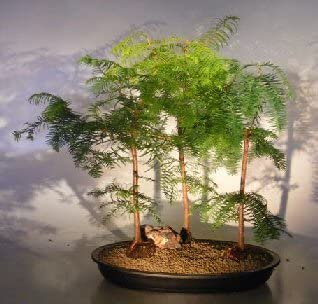Amazon Com Bonsai Boy S Redwood Bonsai Tree Three 3 Tree Forest Group Metasequoia Glyptostroboides Garden Outdoor
