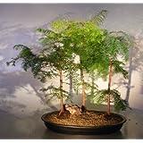 Bonsai Boy Redwood Bonsai Tree Three (3) Tree Forest Group (metasequoia glyptostroboides)