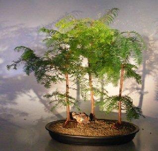 Bonsai Boys Redwood Bonsai Tree Three 3 Tree Forest Group Metasequoia Glyptostroboides