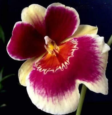 1 Miltoniopsis Banana Fandango 'Faded Memories' Fragrant Orchid Oncidium Miltonia Plant Beauty Fresh NHKM43 - Orchid Care Oncidium