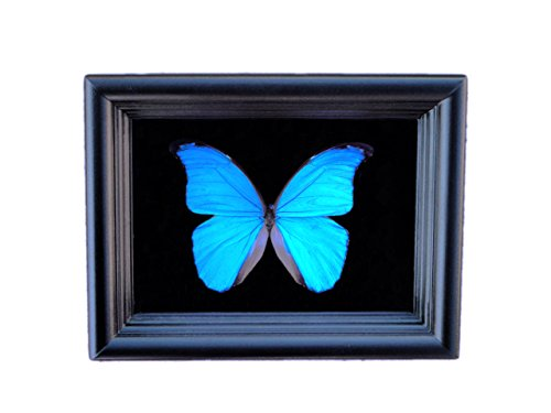 Real Butterfly Taxidermy Art - Insect Art, Bug Art, Bugs, Insects, Taxidermy, Entomologist, Butterflies, Butterfly Decor, Interior Design, Home Decor by Asana Natural Arts