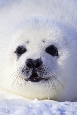 baby harp seal poster