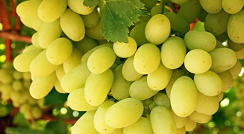 Thompson Seedless Grape Live Plants Vine Organic 2 years Old Shipped Bare Root