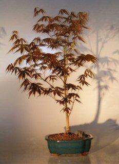 Bonsai Boys Japanese Red Maple Bonsai Tree Large Acer Palmatum