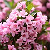 50 OLD FASHIONED WEIGELA Florida Bush Shrub Flower Seeds *Comb S/H