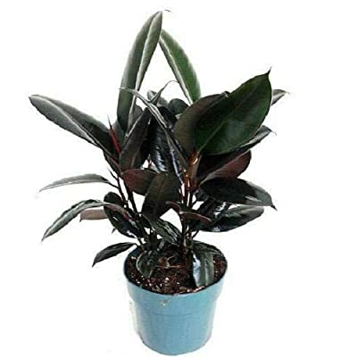 "AchmadAnam 6"" Pot Indoor Houseplant Burgundy Rubber Tree Live Plant Ficus an Old Favorite : Garden & Outdoor"