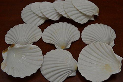 12 Pcs Assort White Deep Irish Pectin Sea Shell Beach Decor 3 1/2