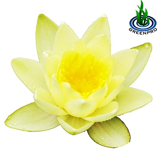 ((Nymphaea Chromatella) Hardy Water Lily Tuber Live Water Plants for Pond Balcony Porch Decorations by Greenpro)