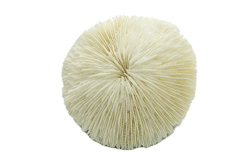 Nautical Crush Trading White Real Mushroom Coral Piece | 3
