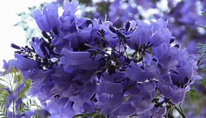 - Jacaranda mimosifolia | Brazilian Rose Wood | Green Ebony | 20_Seeds