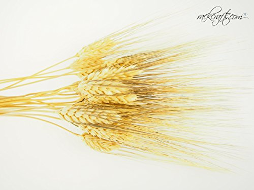 (rackcrafts.com Large Dried Wheat Bunches Bundles Sheaves Vase Filler Home Decor Wedding Floral)