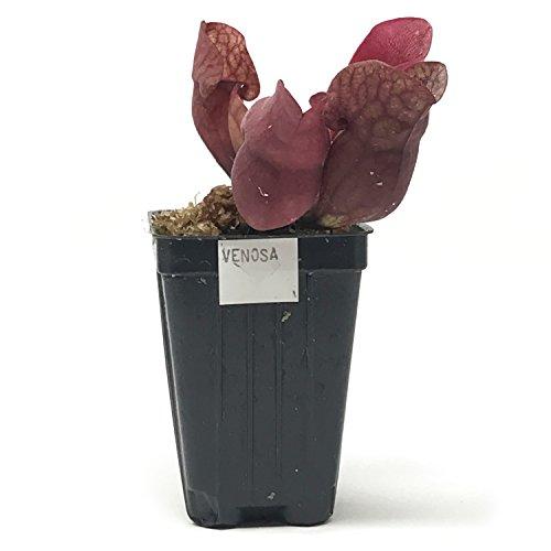 CARNIVOROUS PITCHER PLANT Sarracenia purpurea var. venosa 'Sylwia' Live Plant ()