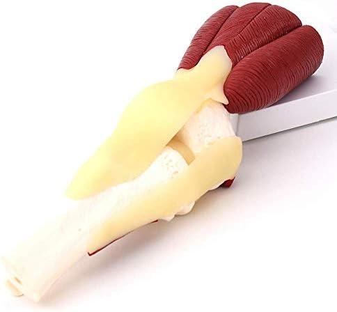Model van het menselijk skelet-menselijk kniespiermodel-kniegewrichtsmodel voor medisch onderzoek en leren