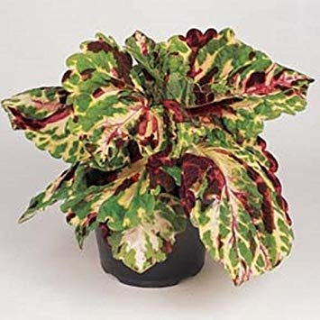 Coleus Annual (Germination Seeds:Coleus Kong Mosaic Annual Seeds)