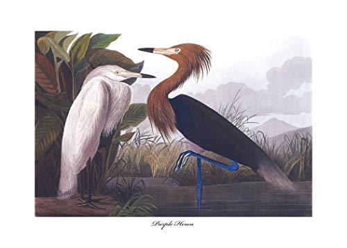 - Purple Heron Art, Audubon Bird Print (Exotic Birds, Coastal Room, Tropical Wall Decor) – Unframed