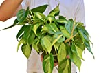 "Philodendron Hederaceum 'Brasil' - Live Indoor House Plant - FREE Care Guide - 6"" Hanging Pot"