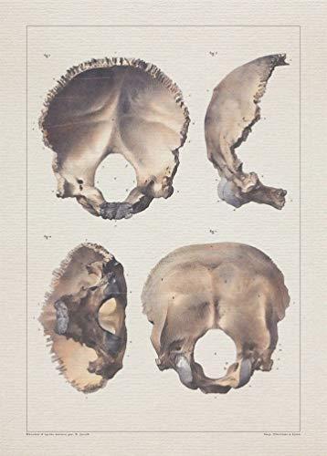 Anatomy SKULL OCCIPITAL BONE print SRA3 12x18 conqueror laid - Occipital Bone Skull
