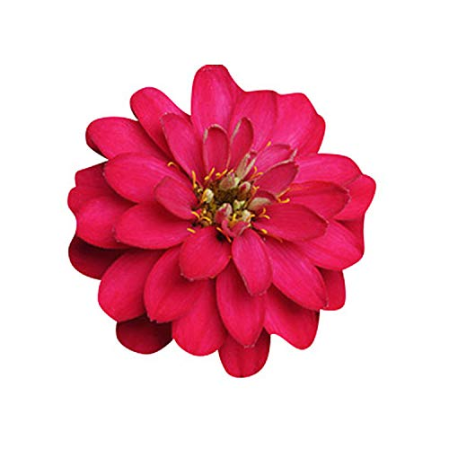 (Zinnia Zahara Double Cherry Seeds - Flower Seeds Package - 250 Seeds)