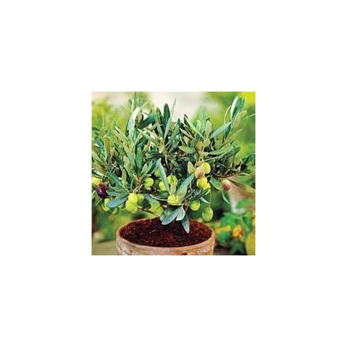 10 Seeds Dwarf Olive Tree indoor/outdoor Plant