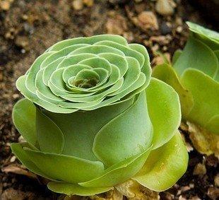 CR Secret Garden Novel Plant Greenovia aurea ex Tenerife rose Succulent Plant office home desk bonsai 10 seeds free shipping