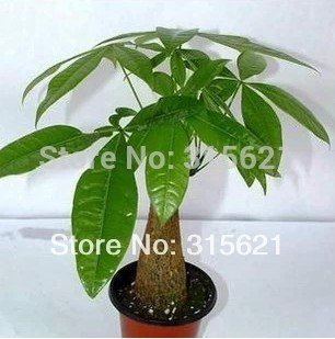 10pcs Bonsai Pachira Aquatica Macrocarpa Seeds Money Tree Seed Beautiful Health Plants For Home SVI