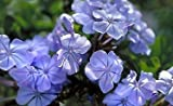 Cape Plumbago -- 12 by 12 Inch Container