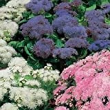 50+ Ageratum Hawaiian Mix Flower Seeds / Self-Seeding Annual