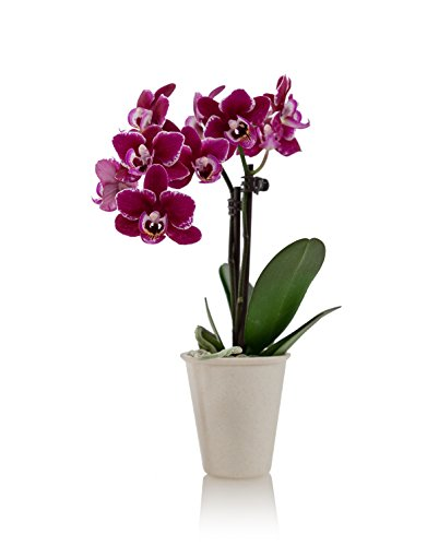 Plant Container, Mini, White (Orchid Plant In Pot)
