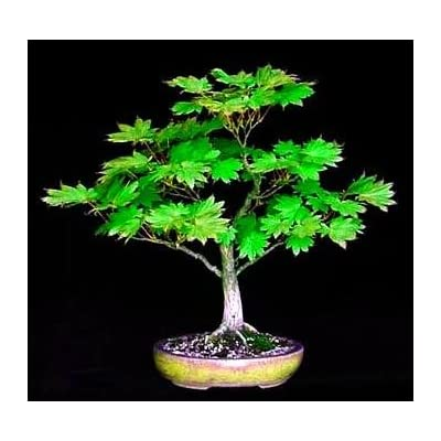 Meigetsu Japanese Maple 7 Seeds - Acer - Bonsai : Tree Plants : Garden & Outdoor