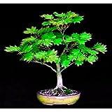 Amazoncom Dwarf Hedge Maple Acer Campestre Postelense