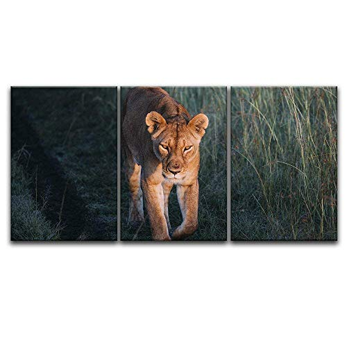 3 Panel A Lion Walking in The Wild x 3 Panels