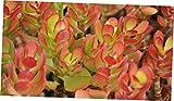 CATS 5 Fresh cuttings Succulent Crassula Ovata Crosby's Compact Jade Small Jade Plant - RK97