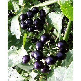Garden HUCKLEBERRY Black 'Solanimum Melanocerasum 35+ Annual Seeds by Helens Garden