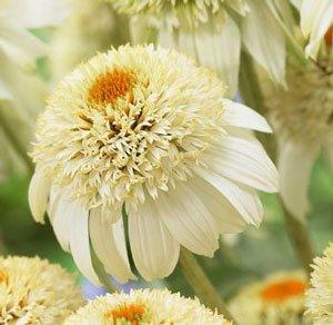 Milkshake Coneflower Seeds Beautiful Summer Blooms Fresh