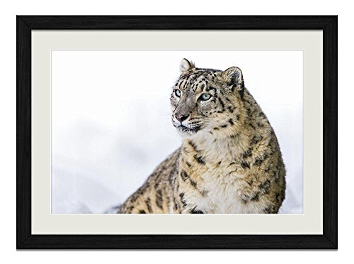 R.Maltto Snow leopard(A015) - Art Print Wall Hang Black Wood Frame Poster Framed Picture Home Decor(20x14inch)