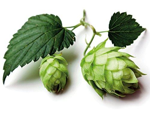 Cashmere Beer Hops Vine - Humulus - 4