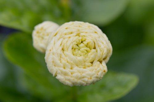 Arabian Jasmine Plant''Grand Duke of Tuscany'' - Fragrant Plant - 6'' Pot by Thai Greenhouse (Image #3)