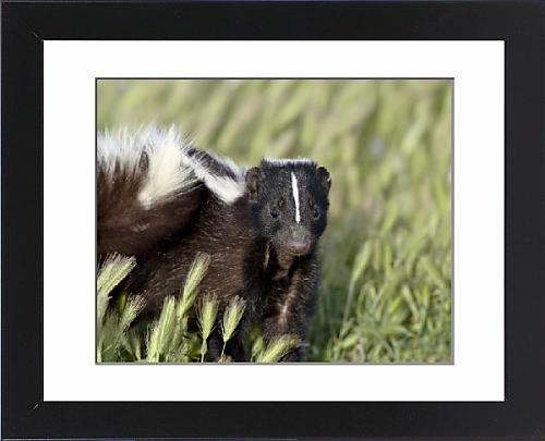 Framed Artwork of Striped skunk (Mephitis mephitis), Bear River Migratory Bird Refuge, Utah