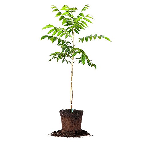 ZINNER PECAN TREE - Size: 5 Gallon, live plant, includes ...