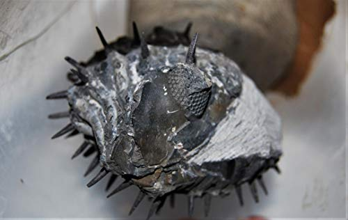 Drotops Spiny Trilobite Fossil Morocco 390 Mill Years Old #14376 28o by Fossils, Meteorites, & More (Image #1)