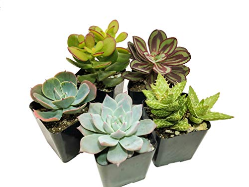 Real Live Succulent Plants (5 Pack), Fully Rooted in Planter Pots with Soil - Unique Indoor Cactus Decor by The Succulent Cult by The Succulent Cult (Image #1)
