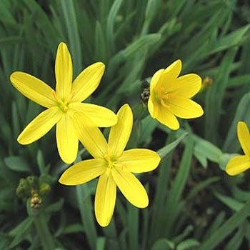 Outsidepride Yellow-eyed Grass - 250 -