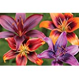Bright Asiatic Lily Certified 5 Seeds (Lilium) Upc 643451295375