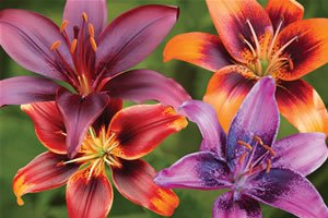 bright-asiatic-lily-certified-5-seeds-lilium-upc-643451295375