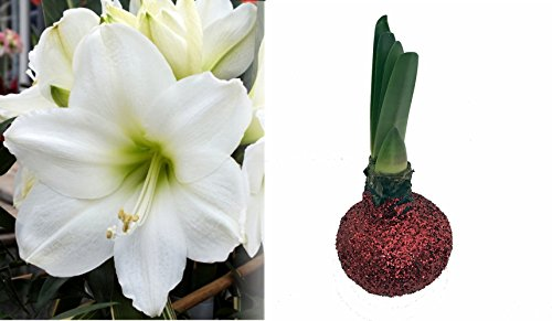 - Christmas Glitter Wax Amaryllis Bulb - Red-Amazing No Soil/Water Needed to Bloom