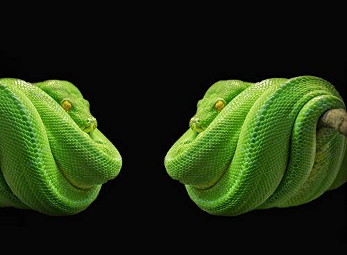 Home Comforts Framed Art for Your Wall Green Tree Snake Snake Green Tree Python Python Vivid Imagery 10 x 13 - Tree Green Snake