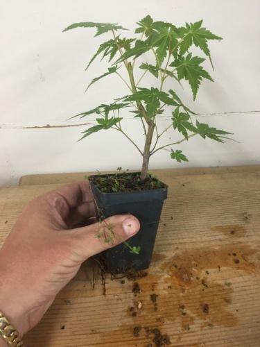 Japanese Maple, Acer Palmatum, Pre Bonsai Seedling Stock. 2 1/4