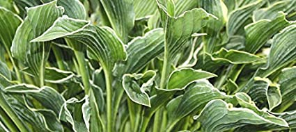 Amazon praying hands hosta healthy 4 potted plant praying hands hosta healthy 4quot potted plant perennial flower garden mightylinksfo