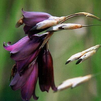 Dierama pulcherrimum | DEEP Dark Purple | 40 Seeds : Garden & Outdoor